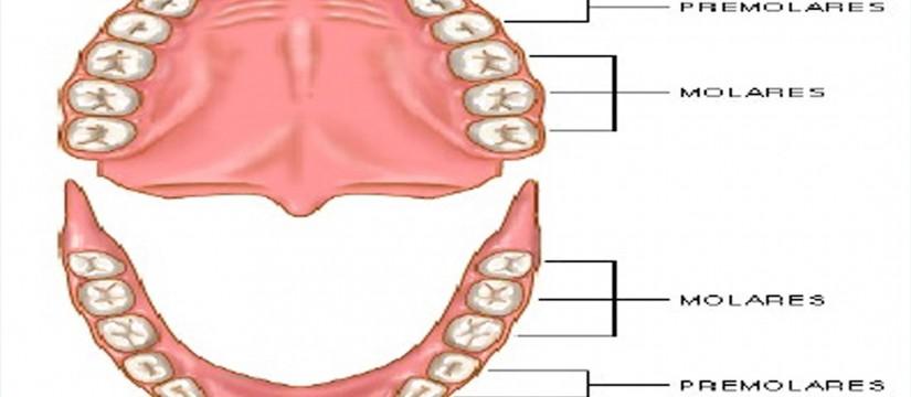 4-tipos-de-dientes-1920
